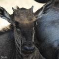 KNP: Steifengnu (Blue Wildebeest)