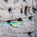 Mashatu: White-fronted Bee-eater (Weissstirnspint)