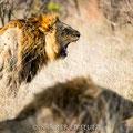 KNP: Löwenmännchen