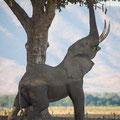 Dafür müssen sich die Elefanten extrem strecken um an die Nahrung zu kommen.