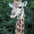 Makakatana Bay Lodge: Giraffenporträt