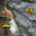 Drakensberge: Village Weaver (Dorfweber)