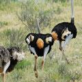 KNP: Strausse (Ostrich)