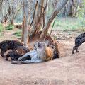 KNP: Spotted Hyena (Tüpfelhyäne))