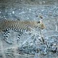 Mashatu: Junge Leopardendame
