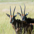 Little Vumbura: Sable antelope (Rappenantilope)