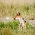 KNP: Schabrackenschakal (Black-backed jackal)