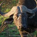 KNP: African Buffalo (Afrikanischer Büffel)