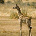 Ruaha NP: Baby-Giraffe