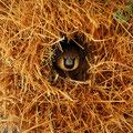 Nest der Sozialen Webervögel (Social Weaver)