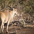Mashatu: Eland Antelope (Elenantilope)