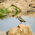 Ruaha NP: Hagedasch (Ibis-Art) (Hadada Ibis)