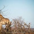 Mashatu: Giraffenmami und Kind