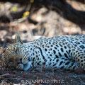 Mashatu: Hier haben wir in 3 Tagen 6 mal Leoparden gesehen!