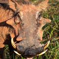 Makakatana Bay Lodge: Warthog (Warzenschwein)