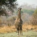 Katavi NP: Noch auf keiner Reise haben wir so oft Giraffen gesehen