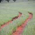 Bagatelle Lodge: Löffelhund (Bat-eared fox)