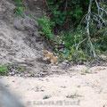 KNP: Löwenbaby
