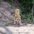 KNP: Löwin holt Baby