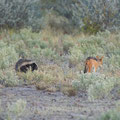 Kalahari: Honey Badger und Black-back jackal