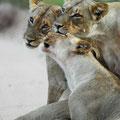 KNP: Begrüssung unter Löwen