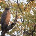 KNP: Martial Eagle (Kampfadler)