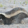 Kalahari: Honey badger (Honigdachs)
