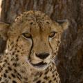 """Ruaha NP: Gepard (Cheetah) in der """"Little Serengeti"""""""
