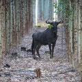 Makakatana Bay Lodge: Blue Wildebeest (Streifen-Gnu)