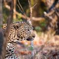 KNP: Leopardenmännchen