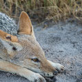 Mombo: Black-backed Jackal (Schabrackenschakal)