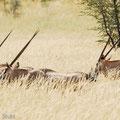 KNP: Spiessbock/Oryx (Gemsbok)