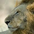 Katavi NP: Stolzes Löwenmännchen