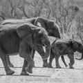 KNP: Elefantenfamilie
