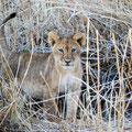 Mashatu: Löwenbaby