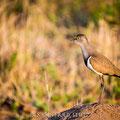 Mkhaya GR, Swaziland: Black-winged Lapwing (Schwarzflügelkiebitz)