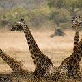 Katavi NP: Und wieder Giraffen...