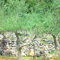 Olivenhaine um den Ort Cres