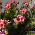 Tajinastenblüte Blütezeit im Mai/Juni