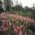 Fireweed oder  Schmalblättrige Weidenröschen