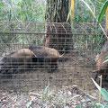 子猪4頭捕獲