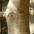 目玉の木?