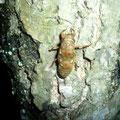 ヒグラシと思われる幼虫