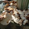 シイタケ収穫しました