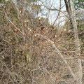 コバノミツバツツジのつぼみ