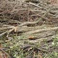 関電伐採のコナラ材
