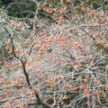 カキの木にたくさんの野鳥が来ていました