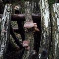 昨年のホダ木にシイタケが出始めました