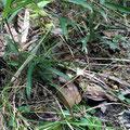 キッコウハグマ(葉の形が亀甲にみえる)