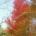 ⑥真っ赤に紅葉するモミジ